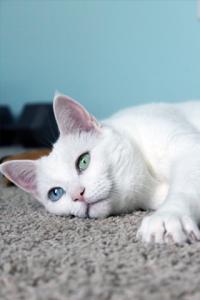 white-cat1